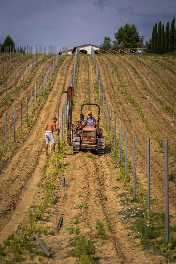 Working the vineyards in Tuscany Italy